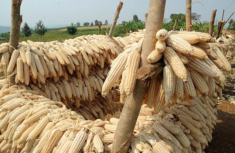 Maize corns undergo post-harvest sun drying. There is low supply of grains compared to demand in the country. (File)