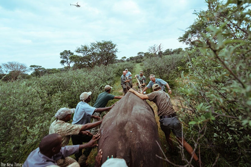 The rhinos were introduced to Akagera National Park under the supervision of a team of an expertly-trained rhino tracking and protection team. (File)