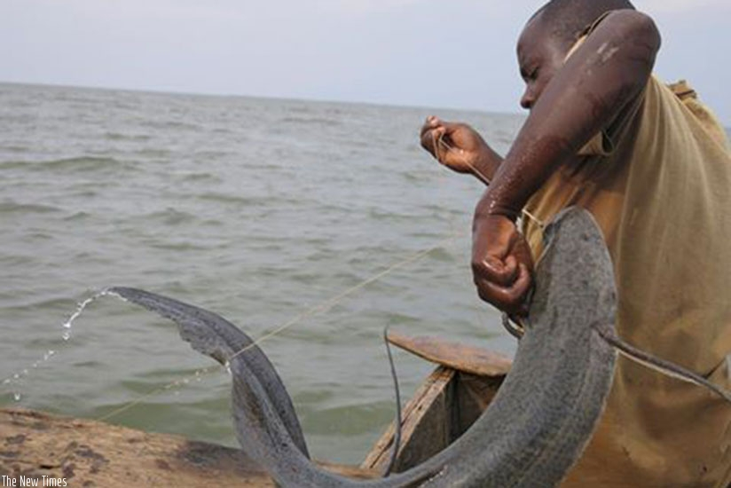A member of KOFIPROKI Cooperative that promotes cage fish farming on Lake Kivu removes fish from his boat. File.