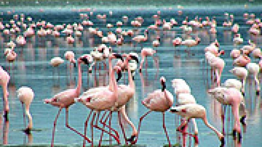 Flamingos at L. Nakuru