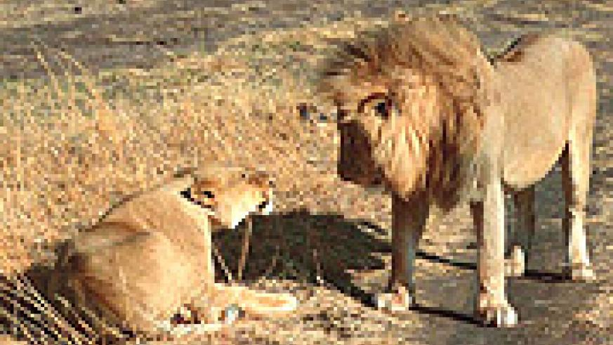 AT RISK: A lion and lioness.