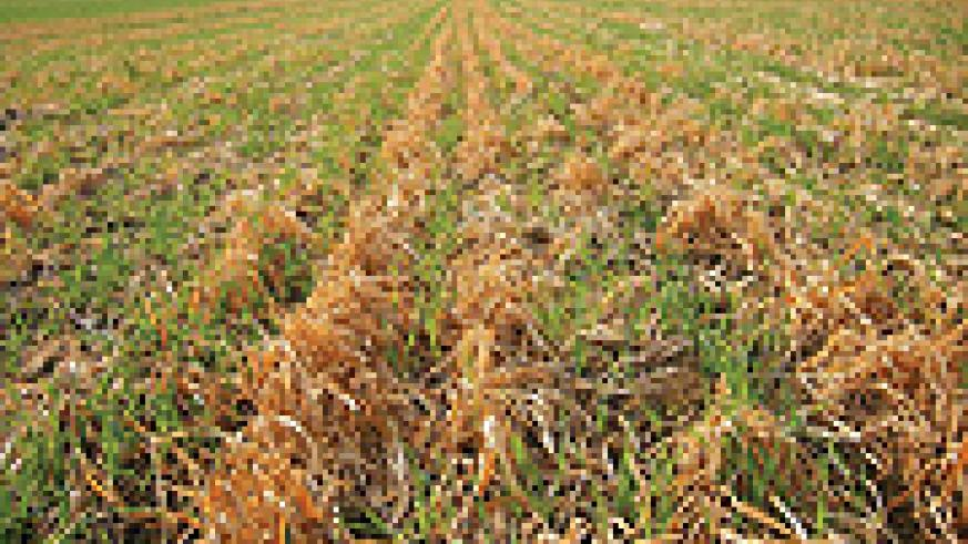 Adverse effects of climate change: A rice field drying.
