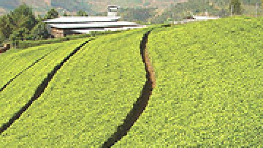 A distant view of Gisovu tea factory and some tea plantations. (File photo)