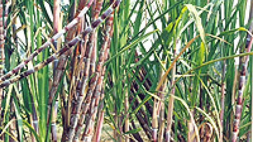 Sugarcane shortage has caused a reduction in sugar processing. (File Photo).