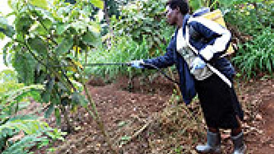 Juliette diligently sprays pesticides to her crop to rid it of pests thus ensuring a healthy yeild
