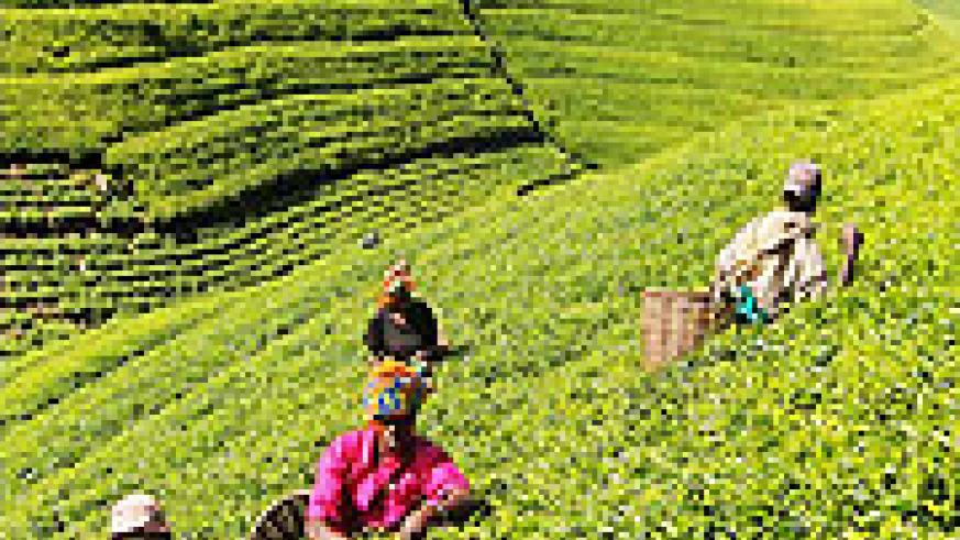 Growers picking tea leaves in an estate (File Photo)