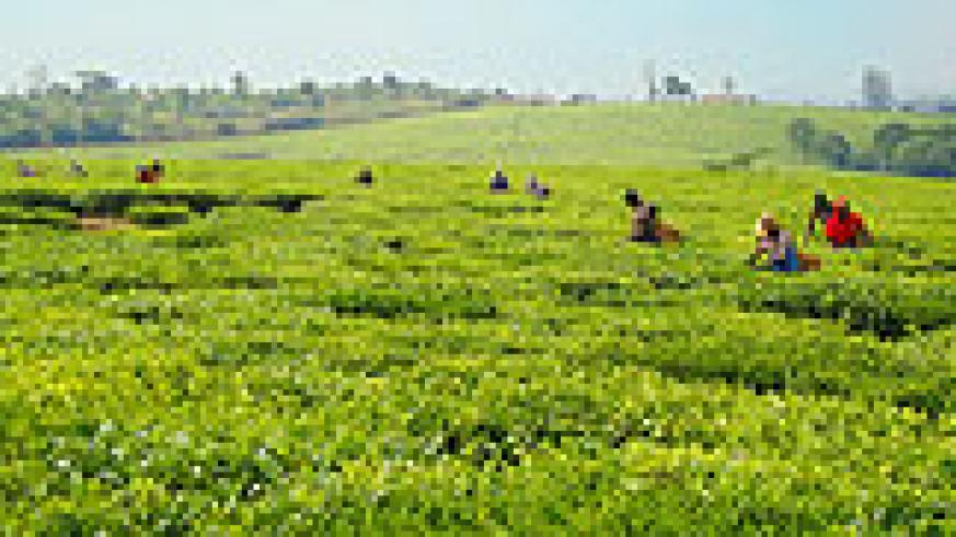 Picking tea leaves from a rwandan estate (File photo).