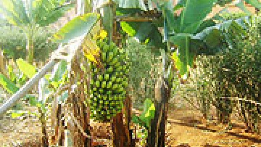 A new type of banana crop that is inroduced in  Jarama sector-Ngoma district.