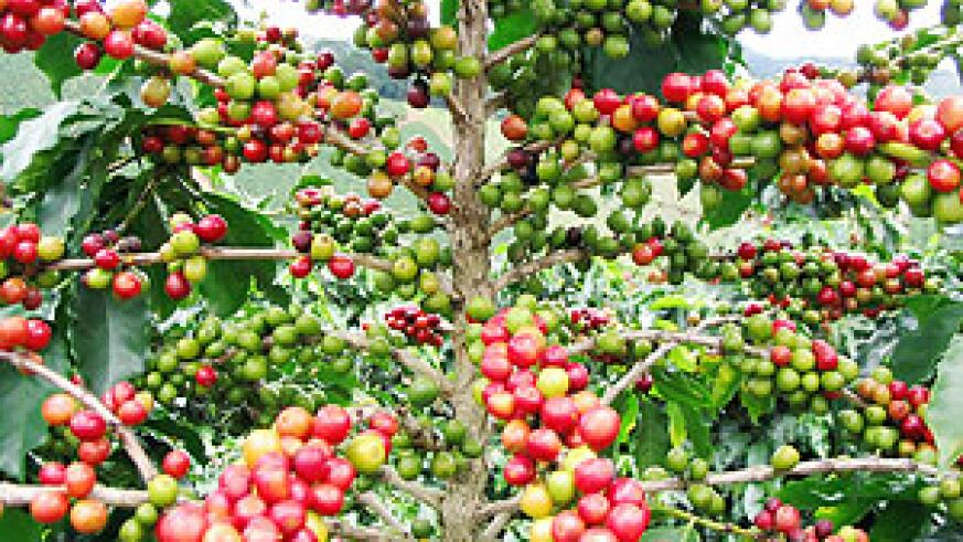 Farmers to experience a decline in coffee harvest. (File photo)