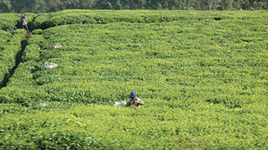 Tea farm gate prices have remained unchanged despite an increase at the auction market (file photo)