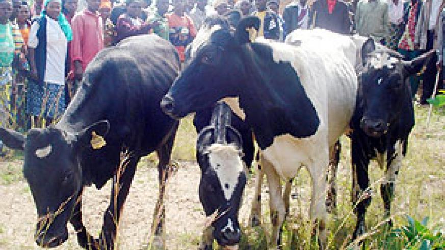 Muhanga residents admire the cows donated under the cattle stocking programme.