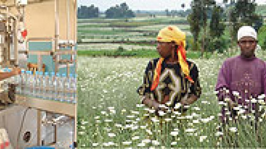 L-R : Factory gate prices for beverages dropped ; Pyrethrum boost export prices. (File photo)