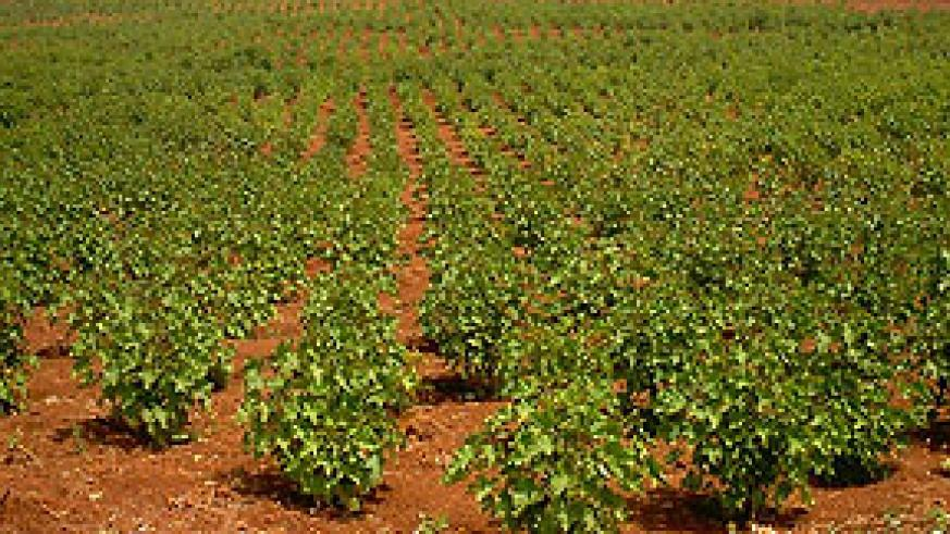 Jatropha plantation in Tanzania. The plant is seen as  the answer to the bio-fuel coundrum.