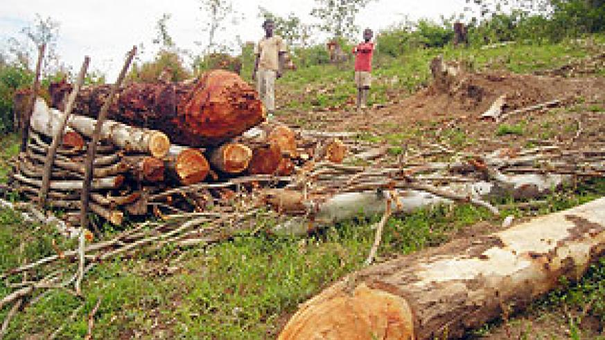 Some of the trees cut down for timber and firewood production in a deal authorized without the district's knowledge. (Photo: P. Ntambara)