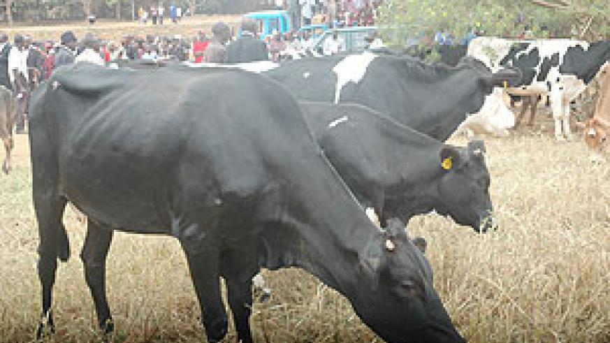 Some of the cows which were being distributed. (File photo)