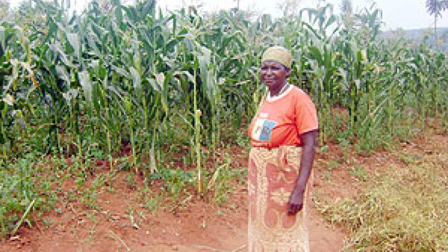 This is all the maize I am remaining with. others were destroyed by Park animals - says Frolida Nyirabarindwi. (Photo: S. Rwembeho)