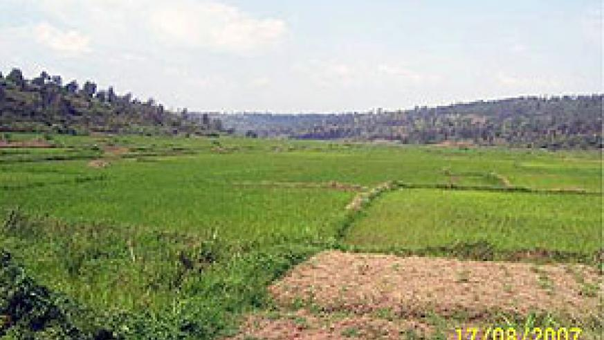 A rice farm in Gisagara district. (File photo)