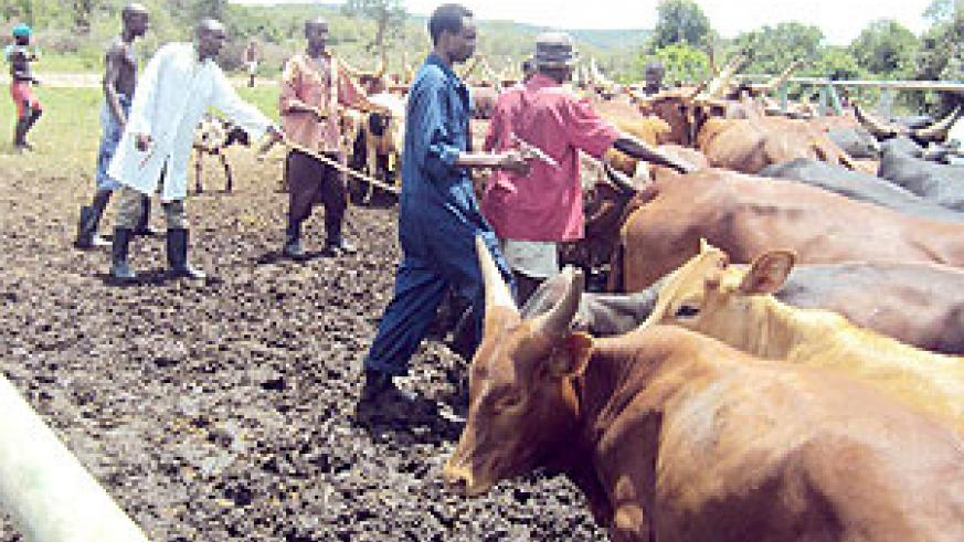 ISAE veterinary students carrying out vaccination of cattle in Rwimiyaga sector. (Photo / D. Ngabonziza)