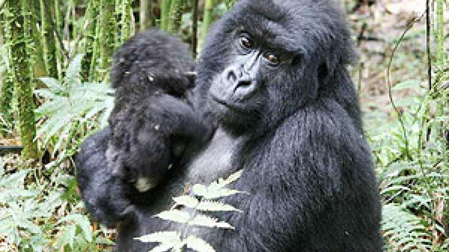 Rwanda's Number One tourist attraction, the Mountain Gorilla