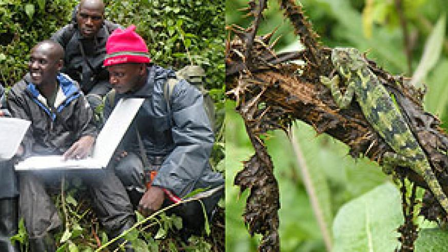 L-R : Dr. Kinani (C) with his team compiled data on the number of gorillas in the Great Virunga Massif ; The Virunga mountains are habitat to a variety of animal species.