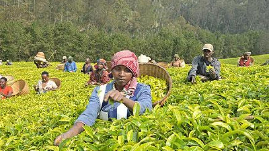 Farmers harvest tea. The New Times file