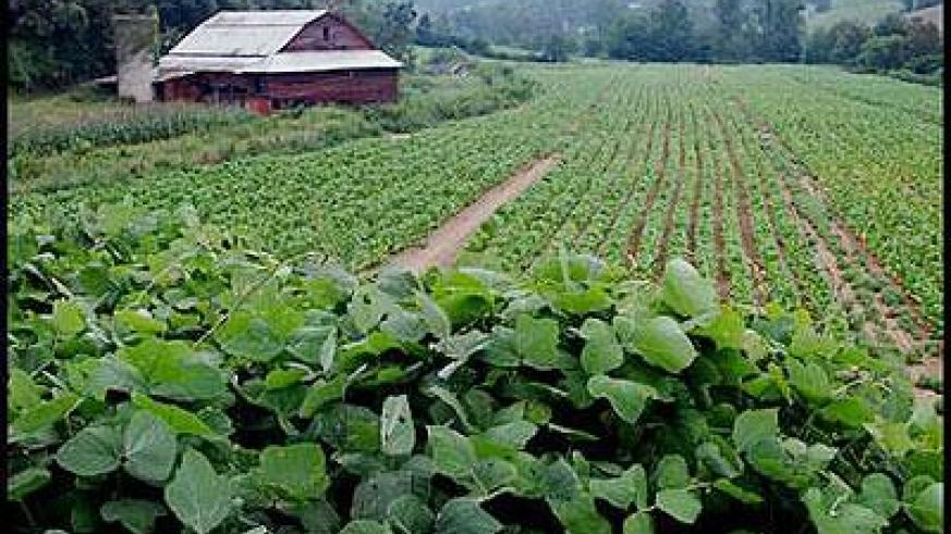 A tobacco plantation. The New Times / File.