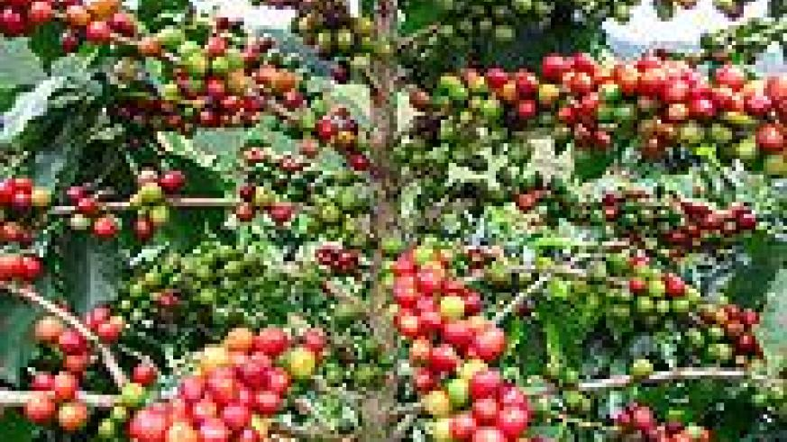 Ripe coffee. The country is looking at new markets, including China. The New Times / File.