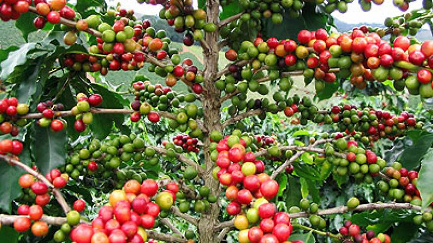 Ripe coffee. The New Times / file.