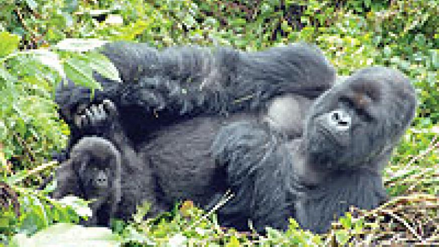 An adult mountain gorilla. There are less than 800 of the species living in the wild. Although endangered, their numbers are increasing. The New Times / File.