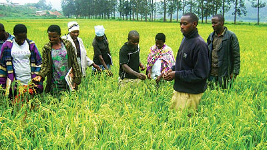 Rice farmers in Cyaruhogo. Rwanda is credited for effective use of aid. The  New Times / File.