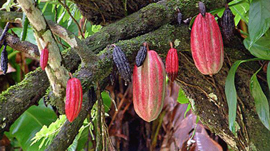 Earnings from cocoa are moving upwards, even as demand surpasses supply. Net photo.