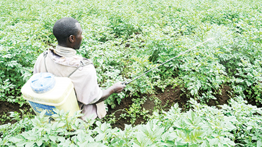 A farmer irrigates a plantation of Irish potatoes. The New Times / File.
