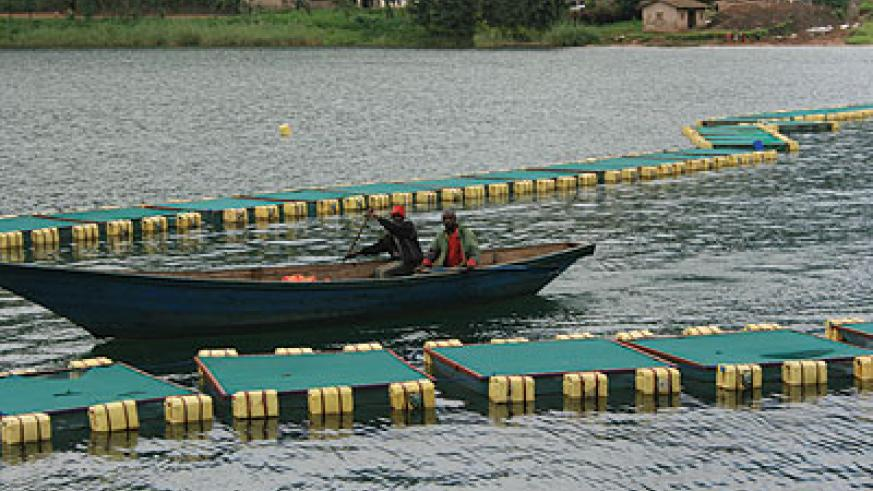 Fishermen in one of the cages set up on River Burera, Burera district. The New Times / Thomas Kagera.