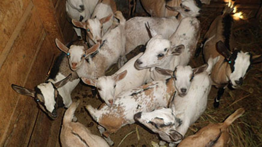 COKAWI Co-operative also rears goats. The group is engaged in crop and livestock farming. The New Times / Triphomus Muyagu