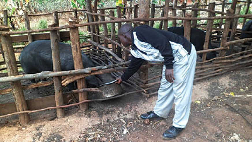 A farmer feeds pigs. Lending to small business like this one has boosted commercial banks revenues. The New Times / Triphomus Muyagu
