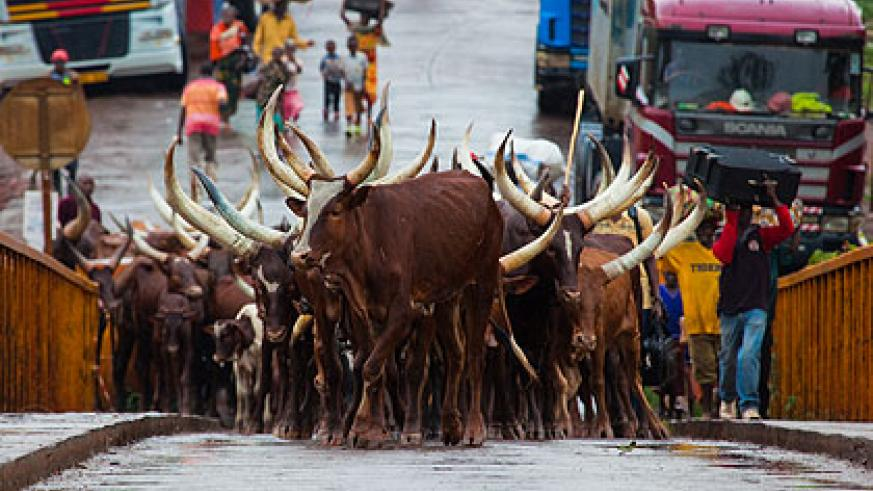 On Sunday, more people were evicted  from Tanzania. Among them were three men who crossed with 84 heads of cattle.   The New Times/ Timothy Kisambira.