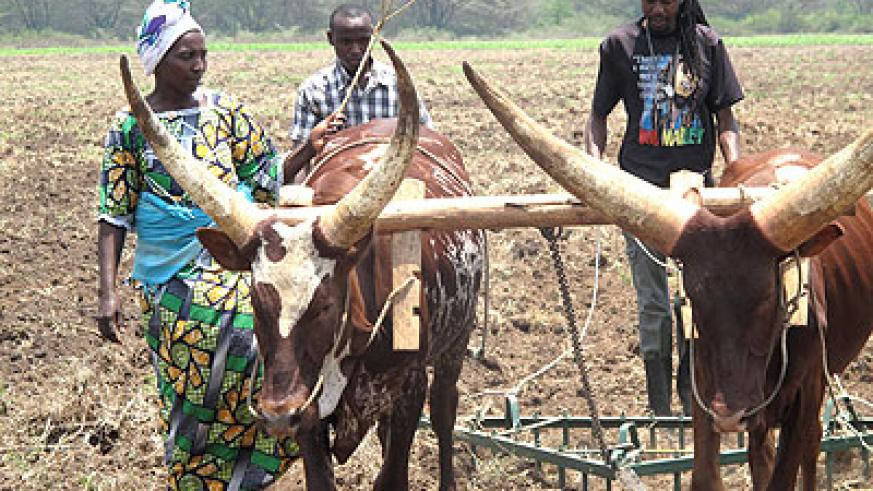Gasange farmers train in bull ploughing.  The New Times/ S. Rwembeho.