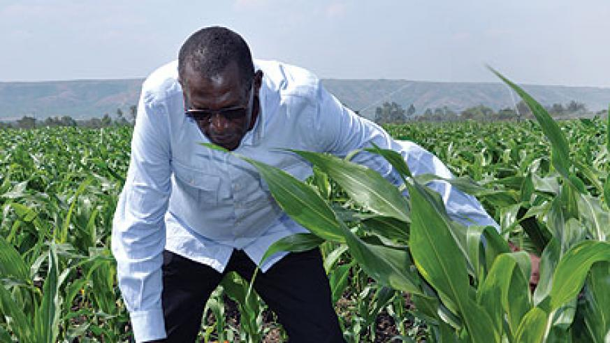 A farmer tends his maize. RAB has devised a plan to boost crop output across the country. The New Times / Peterson Tumwebaze