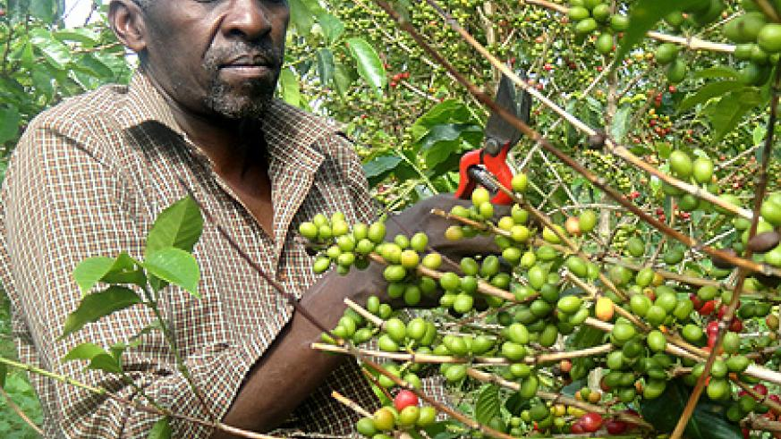 Coffeee for export. Strong economic growth was supported by the good performance of the export sector that expanded by 28.9 per cent in value. Saturday Times/File.