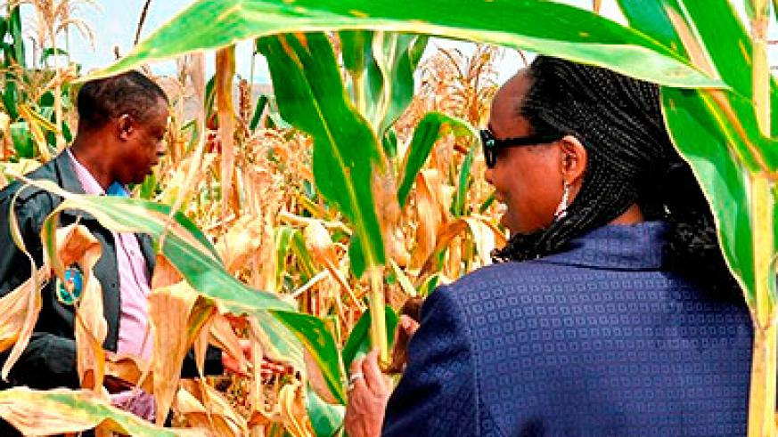 Ministers Kabarebe (L) and Dr Kalibata inspect the RDF maize field in Gabiro, Nyagatare District yesterday. The New Times/ S. Rwembeho.
