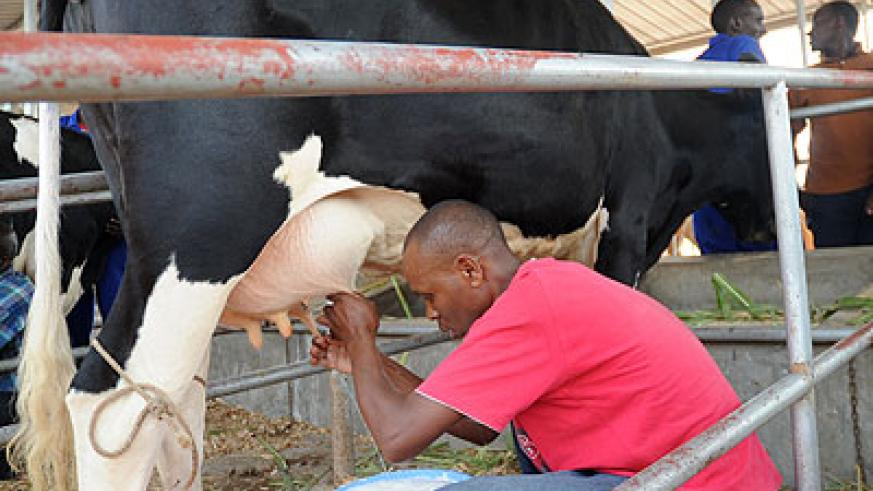 Most of the milk such as this is consumed raw. The New Times/John Mbanda.