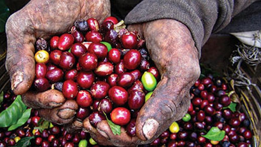 A farmer displays coffee beans after harvest. File.