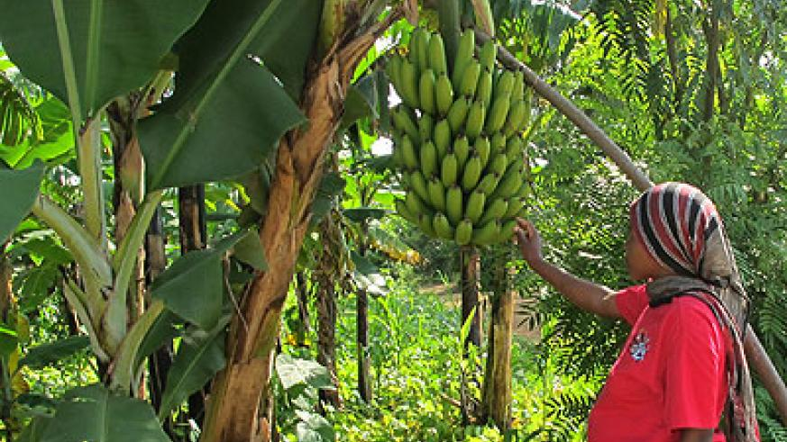 A woman in Nyagatare District inspects her banana plantation.  File.