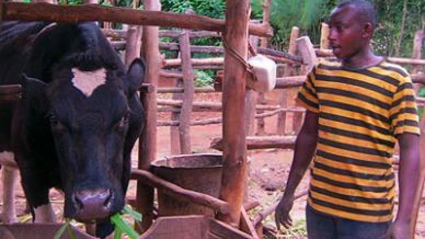 A resident in Bugesera feeds a cow he received through the Girinka programme. The scheme is one of the several programmes the government has rolled out to improve people's lives. File.