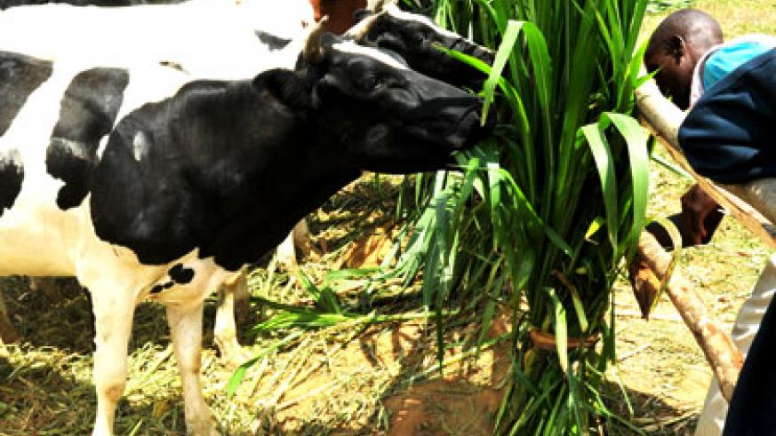 A farmer feeds his Friesian cow. Many farmers who who purchased heifers in a deal with Minagri have asked for compensation.  File.