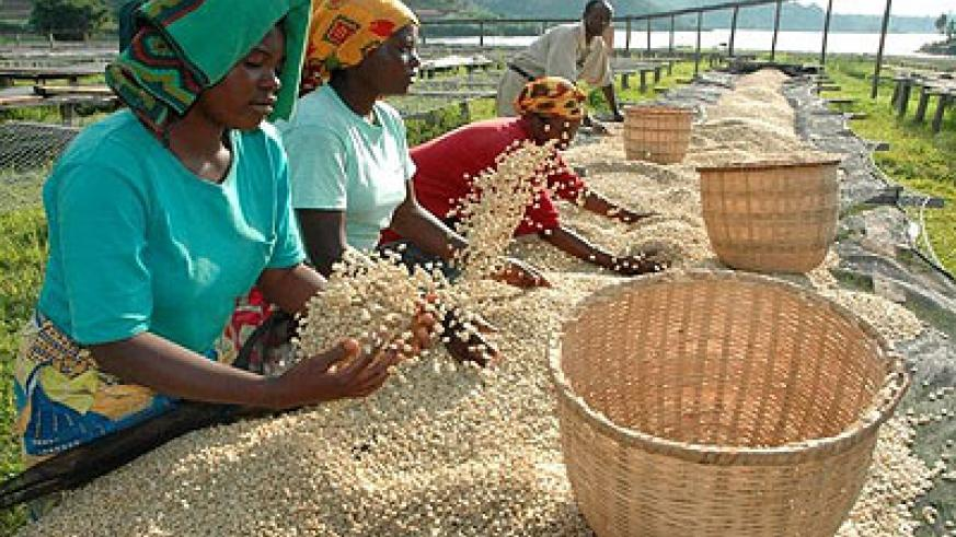 <p>Co-operatives farmers drying New Rwanda Light Roast Coffee that hit the market in January. The country's coffee sector is struggling to shrug off a 'potato taste&rsq....