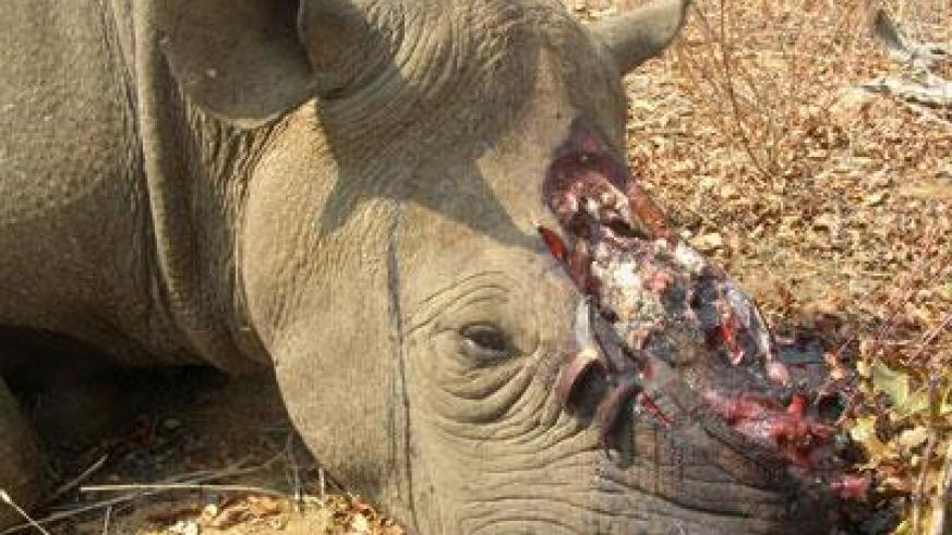 Demand for rhino horns has claimed hundreds of thousands of rhinos such as this one, killed in South Africa. (Internet photo)