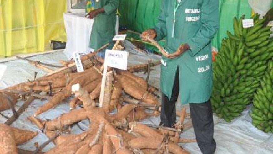 Cassava tubers at a previous agricultural show. Farmers want better prices. (File)