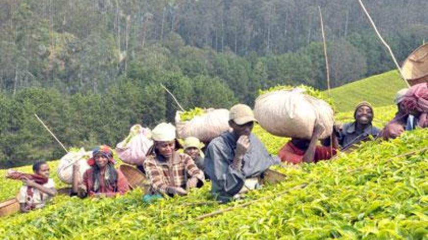 Tea is one of Rwanda's traditional exports whose value is being hurt by falling international prices. (File photo)