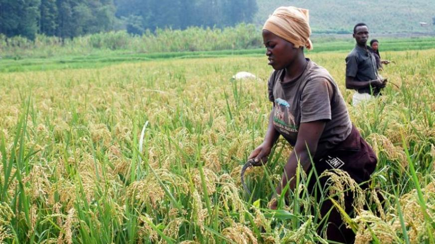 Rice farmers in Rubona in Southern Province harvest their produce recently. (File)